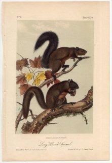 1849年 Audubon Quadrupeds of North America Pl.XXVII リス科 リス属 Long-haired Squirrel