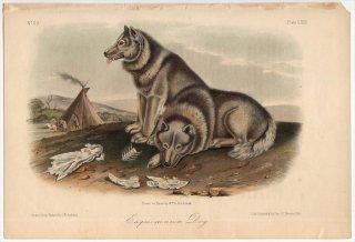 1854年 Audubon Quadrupeds of North America Pl.CXIII イヌ科 エスキモードッグ Exquimaux Dog