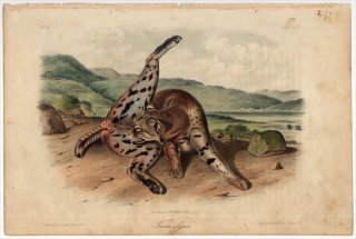 1854年 Audubon Quadrupeds of North America Pl.XCII ネコ科 オオヤマネコ属 ボブキャット Texan Lynx