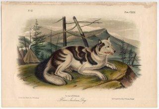 1854年 Audubon Quadrupeds of North America Pl.CXXXII イヌ科 イヌ属 ヘア・インディアン・ドッグ Hare-Indian Dog