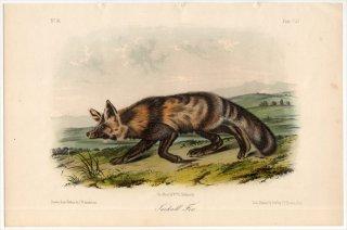 1854年 Audubon Quadrupeds of North America Pl.CLI イヌ科 キツネ属 Jackall Fox