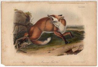 1854年 Audubon Quadrupeds of North America Pl.LXXXVII イヌ科 キツネ属 アカギツネ American Red Fox