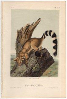 1854年 Audubon Quadrupeds of North America Pl.XCVIII アライグマ科 カコミスル属 Ring Tailed Bassaris