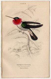 1865年 JARDINE NATURALIST'S LIBRARY 鳥類学 Pl.13 ハチドリ科 TROCHILUS TRICOLOR