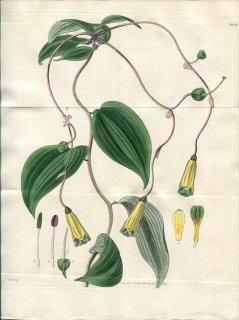 1828年 Curtis Botanical Magazine No.2848 ユリズイセン科 ボマレア属 ALSTROEMERIA OVATA