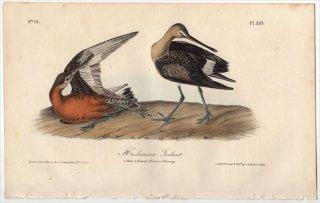1840年 Audubon Birds of America Pl.349 シギ科 オグロシギ属 アメリカオグロシギ Hudsonian Godwit