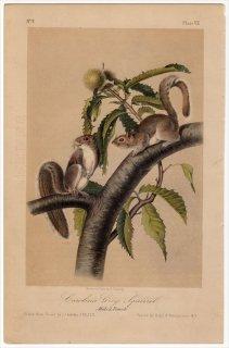 1849年 Audubon Quadrupeds of North America Pl.VII リス科 リス属 トウブハイイロリス Carolina Gray Squirrel