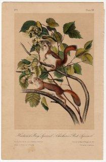 1849年 Audubon Quadrupeds of North America Pl.XIV リス科 リス属 キタリス Hudson's Bay Squirrel