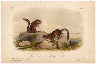 1849年 Audubon Quadrupeds of North America Pl.XX リス科 シマリスの仲間 Townsend's Ground Squirrel