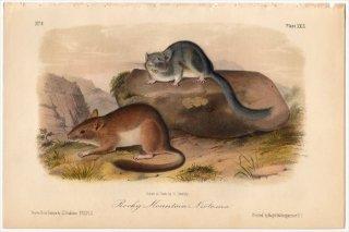 1849年 Audubon Quadrupeds of North America Pl.XXIX キヌゲネズミ科 モリネズミ属 Rocky Mountain Neotoma