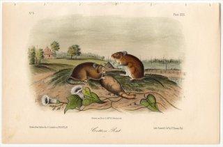 1851年 Audubon Quadrupeds of North America Pl.XXX キヌゲネズミ科 コットンラット属 コットンラット Cotton Rat