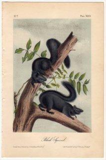 1851年 Audubon Quadrupeds of North America Pl.XXXIV リス科 リス属 クロリス Black Squirrel