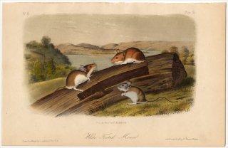 1851年 Audubon Quadrupeds of North America Pl.XL キヌゲネズミ科 シロアシネズミ属 シロアシネズミ White Footed Mouse