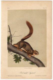 1851年 Audubon Quadrupeds of North America Pl.LV リス科 リス属 コクモツリス Red tailed Squirrel