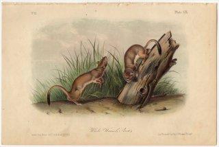 1851年 Audubon Quadrupeds of North America Pl.LIX イタチ科 イタチ属 オコジョ White Weasel Stoat