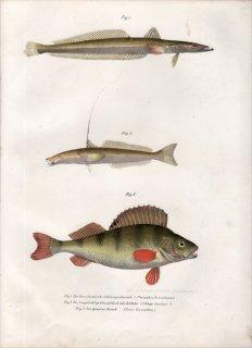 1860年 Fitzinger Bilder Atlas Fig.2 キス科 イトヒキギス属 イトヒキギス Sillago domina