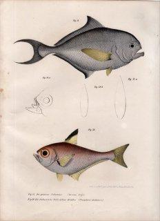 1860年 Fitzinger Bilder Atlas Fig.57 シマガツオ科 シマガツオ属 ニシシマガツオ Brama Rayi