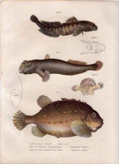1860年 Fitzinger Bilder Atlas Fig.64 ハゼ科 ブラックゴビー Gobius niger