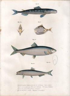 1860年 Fitzinger Bilder Atlas Fig.141 ムネエソ科 ムネエソ Sternoptyx diaphana