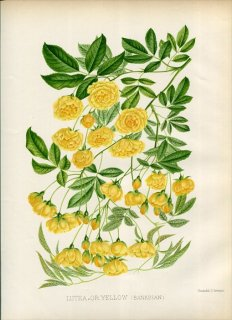 1888年 William Paul The Rose Garden バラ科 バラ属 LUTEA OR YELLOW モッコウバラ
