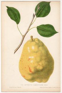 1852年 Hovey The Fruits of America バラ科 ナシ属 THE DUCHESSE D'ANGOULEME PEAR