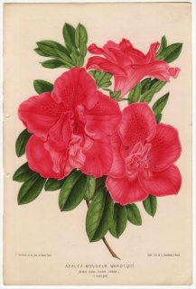 1870年 Linden L'Illustration Horticole ツツジ科 AZALEA MONSIEUR WAROCQUE アザレア