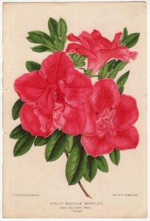 1870年 Linden L'Illustration Horticole ツツジ科 AZALEA MONSIEUR WAROCQUE アザレア