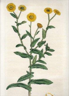 1835年 Curtis Flora Londinensis キク科 オグルマ属 INULA DYSENTERICA