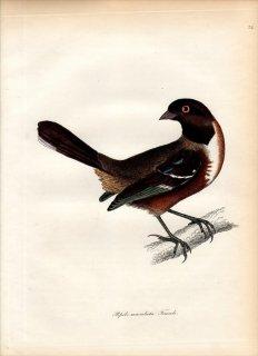 1827年 Jardine & Selby 鳥類学の図解 Pl.32 ゴマフスズメ科 トウヒチョウ属 雌 PIPILO MACULATA