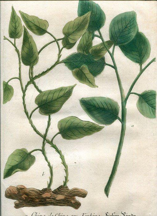 1739年 Weinmann 花譜 N.367 サルトリイバラ科 シオデ属 ...