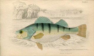 1835年 Jardine Naturalist's Library 魚類学 Pl.1 ペルカ科 ペルカ属 イエローパーチ PERCA GRANULATA