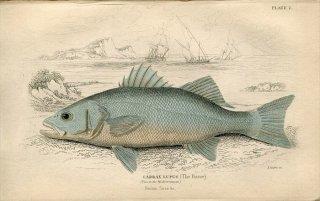 1835年 Jardine Naturalist's Library 魚類学 Pl.2 モロネ科 ディケントラルクス属 ヨーロピアンシーバス LABRAX LUPUS