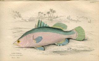 1835年 Jardine Naturalist's Library 魚類学 Pl.3 アカメ科 アカメ属 LATES NOBILIS