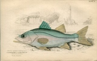 1835年 Jardine Naturalist's Library 魚類学 Pl.4 アカメ科 ホソアカメ属 コモンスヌーク CENTROPOMUS UNDECIMALIS