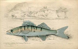 1835年 Jardine Naturalist's Library 魚類学 Pl.5 ペルカ科 ザンダー属 パイクパーチ LUCIOPERCA SANDRA