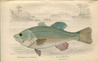 1835年 Jardine Naturalist's Library 魚類学 Pl.6 サンフィッシュ科 オオクチバス属 HURO NIGRICANS