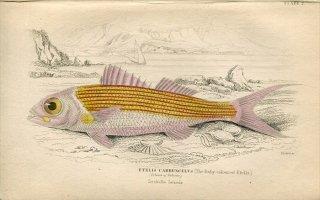 1835年 Jardine Naturalist's Library 魚類学 Pl.7 フエダイ科 ハマダイ属 ハチジョウアカムツ ETELIS CARBUNCULUS