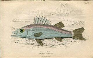 1835年 Jardine Naturalist's Library 魚類学 Pl.8 ハタ科 アラ属 アラ NIPHON SPINOSUS