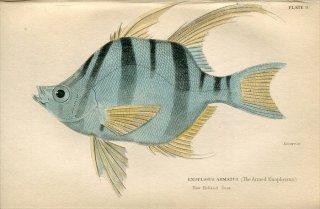 1835年 Jardine Naturalist's Library 魚類学 Pl.9 エノプロスス科 エノプロスス属 オールドワイフ ENOPLOSUS ARMATUS