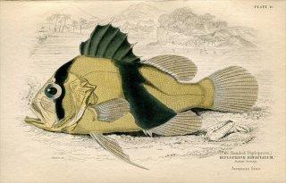 1835年 Jardine Naturalist's Library 魚類学 Pl.10 ハタ科 キハッソク属 キハッソク DIPLOPRION BIFACTATUM