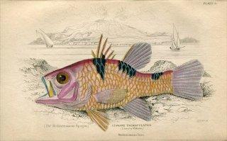 1835年 Jardine Naturalist's Library 魚類学 Pl.11 テンジクダイ科 アカヒレイシモチ属 ミスジアカヒレイシモチ APOGON TRIMACULATUS