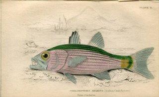 1835年 Jardine Naturalist's Library 魚類学 Pl.12 テンジクダイ科 ヤライイシモチ属 CHEILODIPTERUS ARABICUS