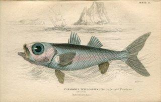1835年 Jardine Naturalist's Library 魚類学 Pl.13 ヤセムツ科 ヤセムツ属 オオヤセムツ POMATOMUS TELESCOPIUM