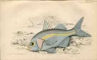 1835年 Jardine Naturalist's Library 魚類学 Pl.14 タカサゴイシモチ科 ハナダカタカサゴイシモチ AMBASSIS COMMERSONII