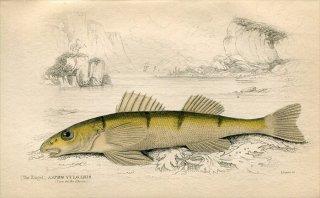 1835年 Jardine Naturalist's Library 魚類学 Pl.15 ペルカ科 ズィンゲル属 ASPRO VULGARIS