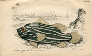 1835年 Jardine Naturalist's Library 魚類学 Pl.16 ハタ科 ヌノサラシ属 ヌノサラシ GRAMMISTES ORIENTALIS
