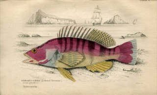 1835年 Jardine Naturalist's Library 魚類学 Pl.17 ハタ科 ヒメスズキ属 SERBANUS SCRIBA