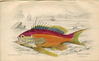 1835年 Jardine Naturalist's Library 魚類学 Pl.18 ハタ科 ハナダイの仲間 SERRANUS ANTHIAS