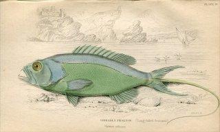 1835年 Jardine Naturalist's Library 魚類学 Pl.19 ハタ科 ヒメスズキ属 SERRANUS PHAETON