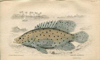 1835年 Jardine Naturalist's Library 魚類学 Pl.20 ハタ科 サラサハタ属 サラサハタ SERRANUS ALTIVELIS
